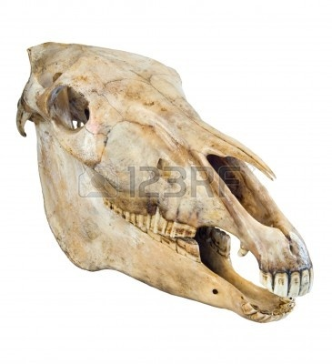 skull-of-a-horse